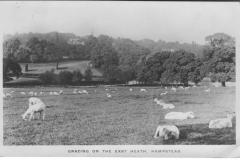 Highgate View Sheep 1913