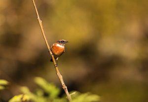 Birds of the Heath in Spring