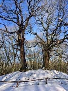 Just two of the many trees of the Heath